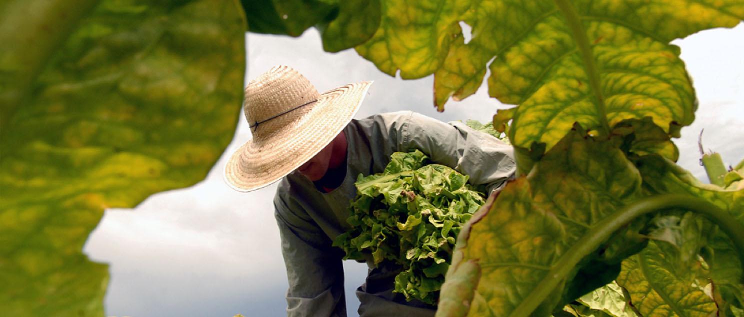 Bauer erntet Tabak Blätter